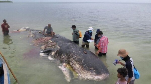 Dead sperm whale found in Indonesia had ingested '6kg of plastic'