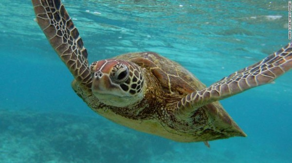 Microplastics found in gut of every sea turtle in new study