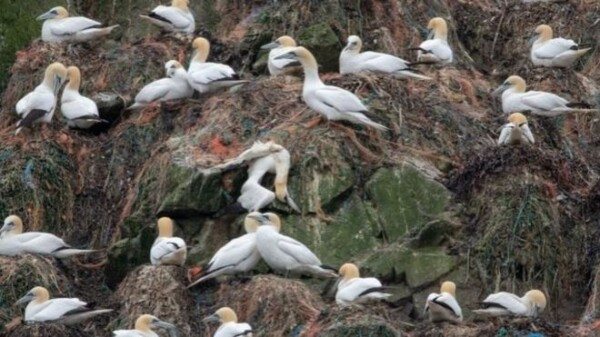 Plastic found in 'almost 100%' of Alderney's gannet nests